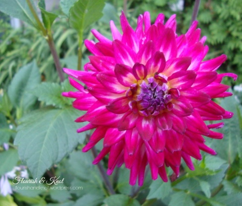 "You say ""daylia"", I say ""dahlia"""
