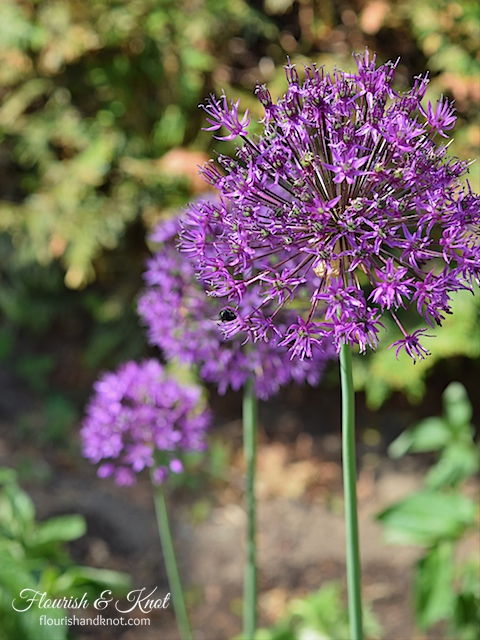 Purple Allium flowers | flourishandknot.com