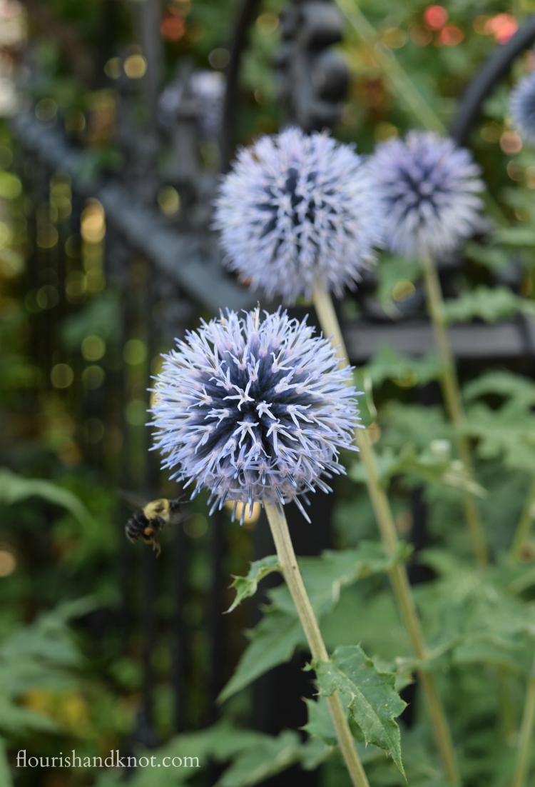 A bee alighting on a globe thistle | flourishandknot.com