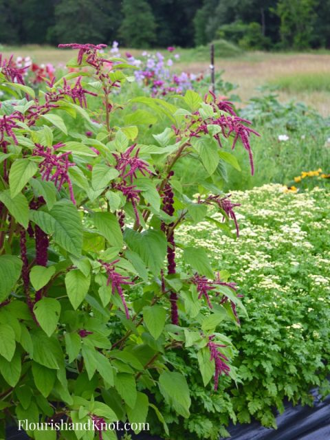 Burgundy Amaranth Jardins Frieda Bella