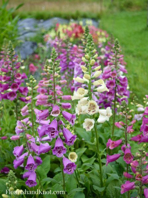 Lavender and Cream Foxglove Jardins Frieda Bella