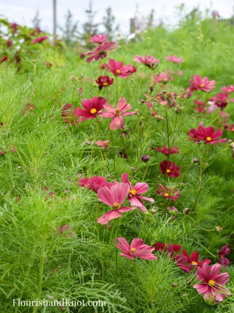 Red and Pink Cosmos Jardins Frieda Bella
