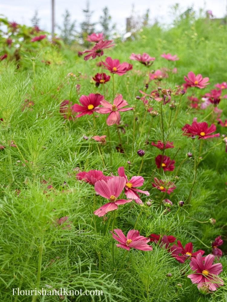 Red and Pink Cosmos Jardins Frieda Bella